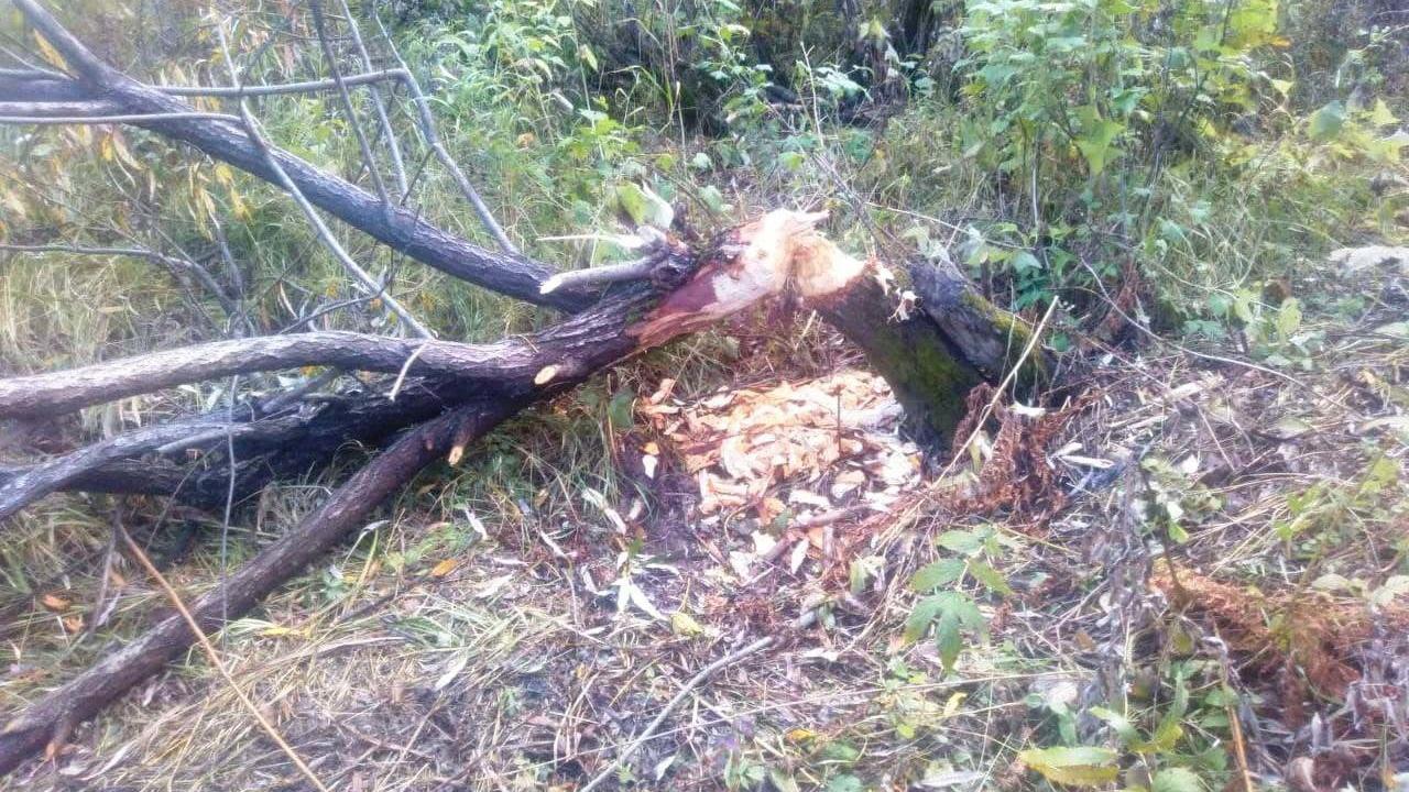 Бобры развернули масштабные стройки в Челябинской области