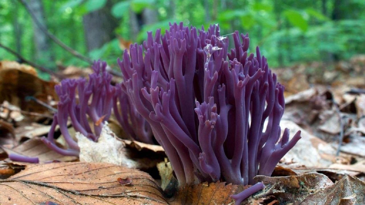 Кусок печени и морской еж: 5 самых странных грибов Челябинской области