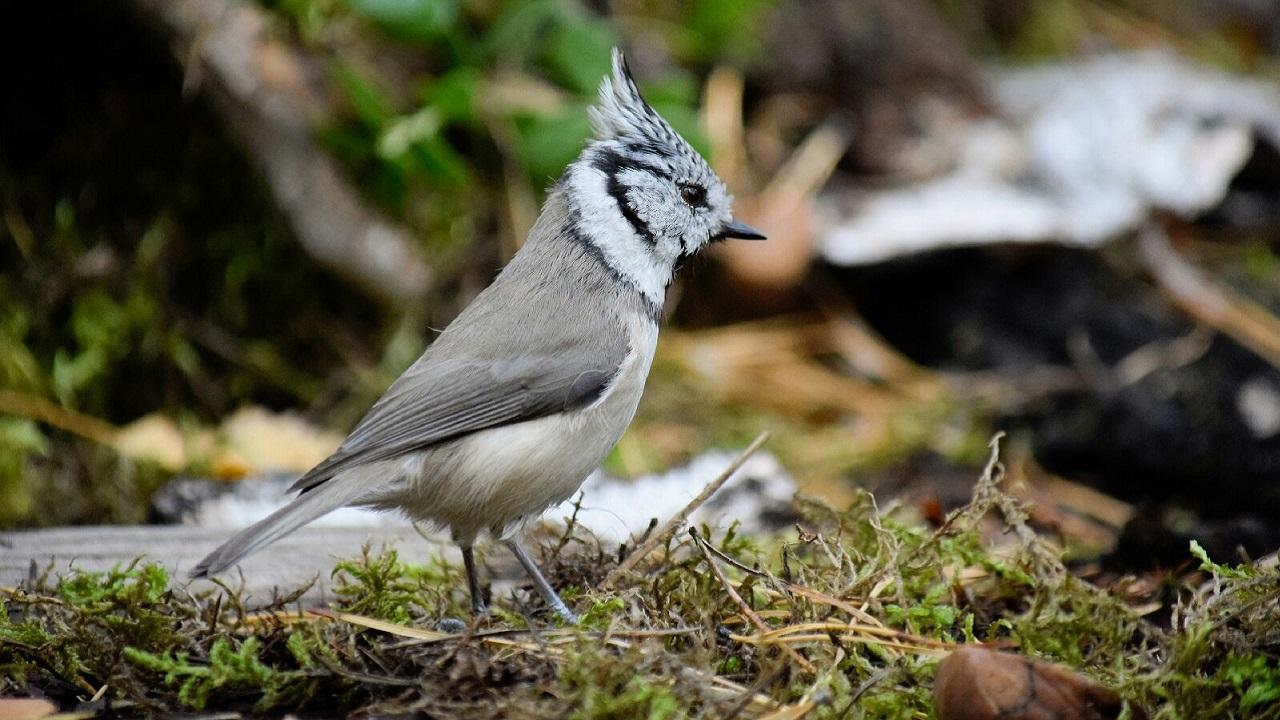 В Челябинской области сфотографировали скрытных птиц с хохолками