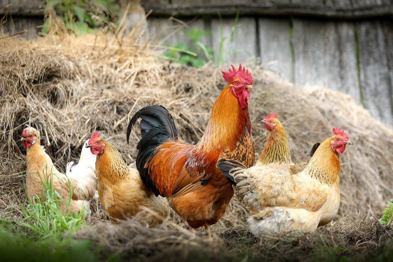 На садовых участках запретили держать кур