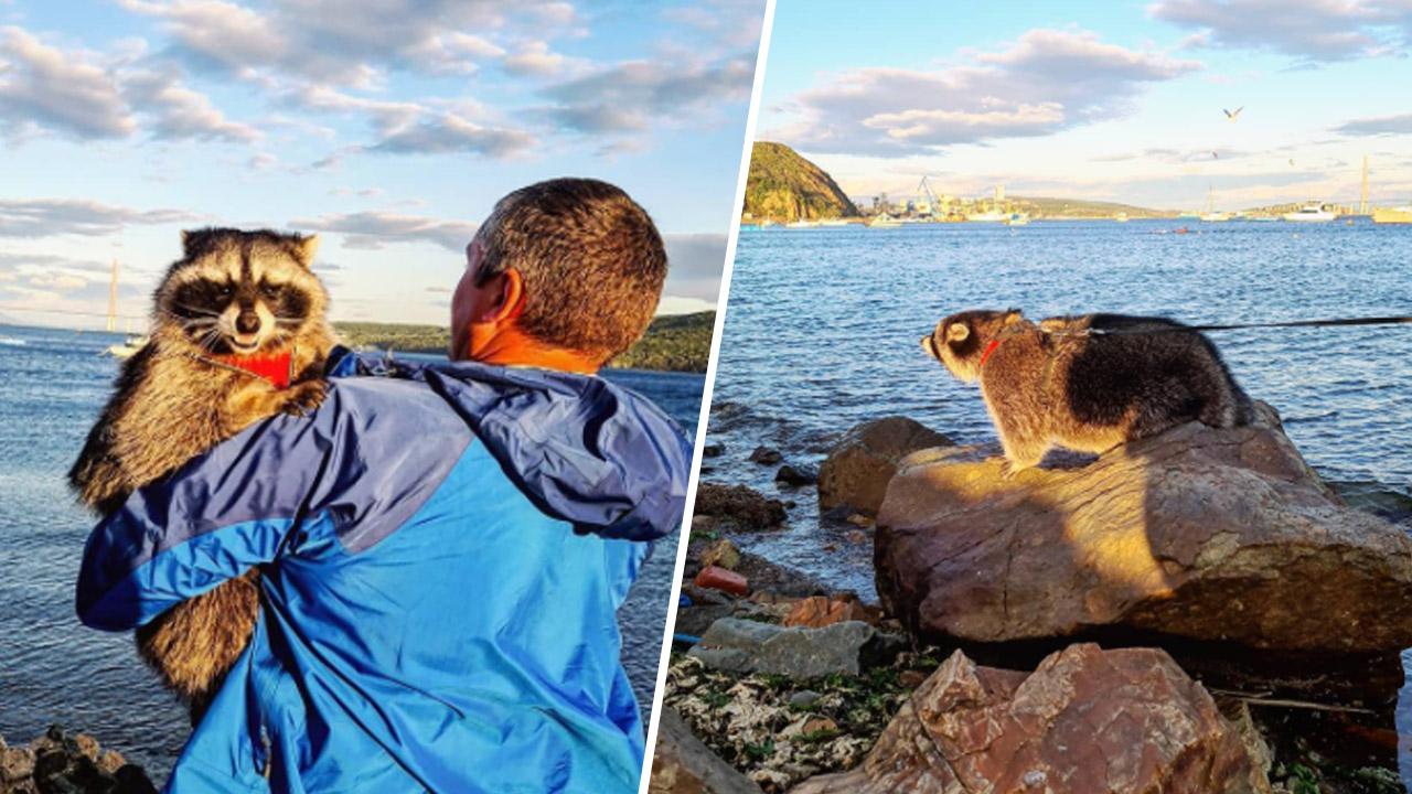 Енот-блогер Витя из Челябинска добрался до Тихого океана