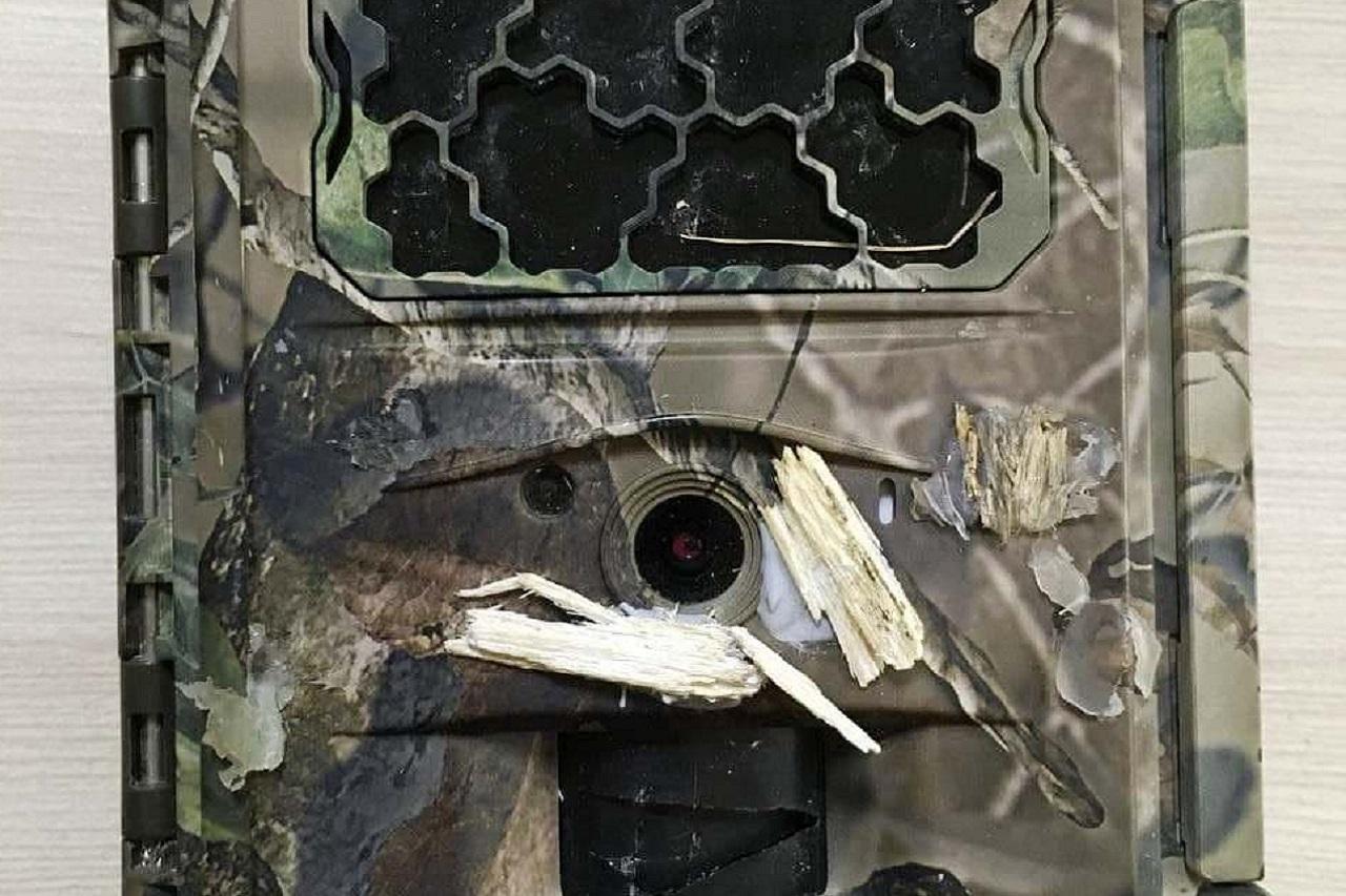 Дятел-хулиган пытался разбить фотоловушку на Урале ВИДЕО