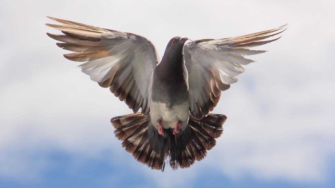 Хорошие и плохие приметы: голубь на подоконнике или залетел в дом