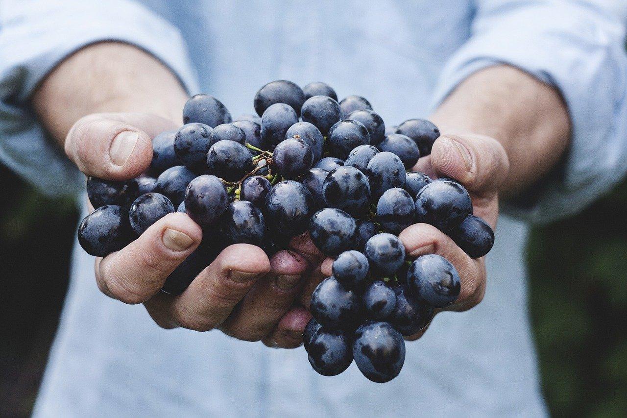 Как вырастить 100 сортов винограда на Южном Урале?