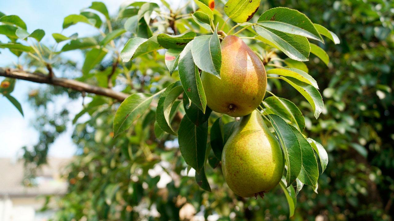 Садоводы назвали самые сладкие и сочные сорта уральских груш