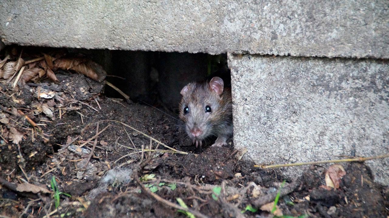 Полчища крыс атаковали жильцов дома в Челябинской области