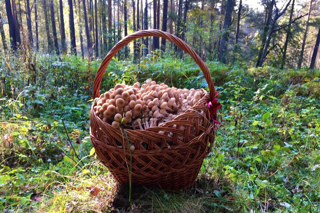 Гигантский урожай опят, облепивших деревья, нашли на Урале