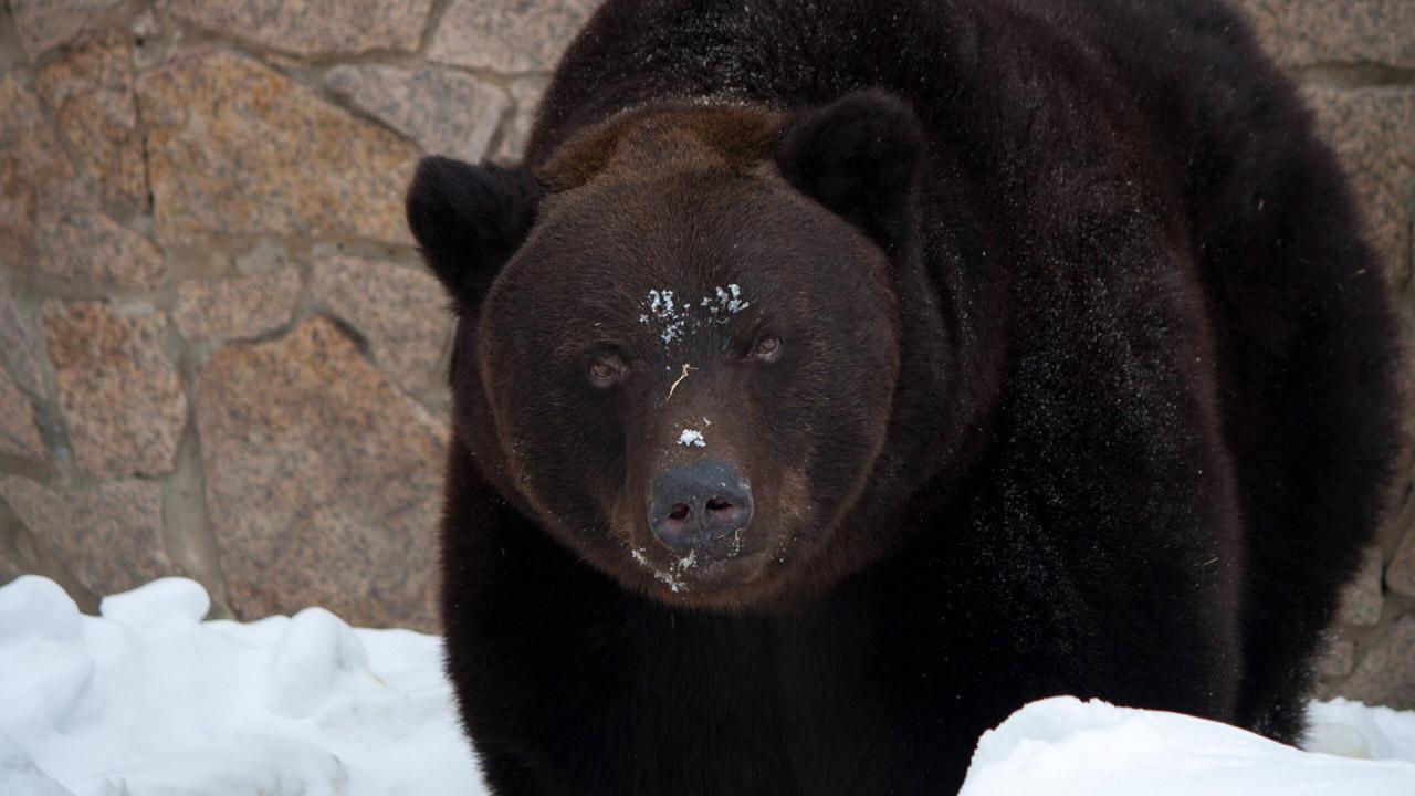 Запашный назвал людей, которые могли убить медведей в Челябинске