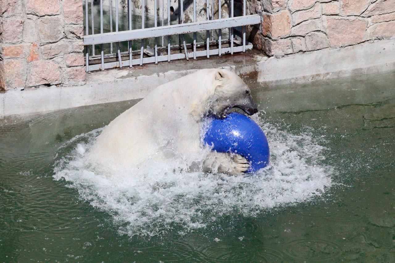 Челябинский зоопарк рассказал драматичную историю белого медведя Алтына