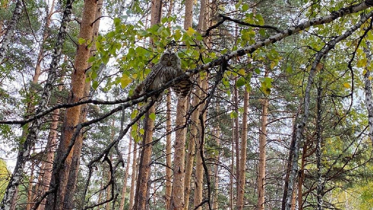 Диких сов спасли в Челябинской области