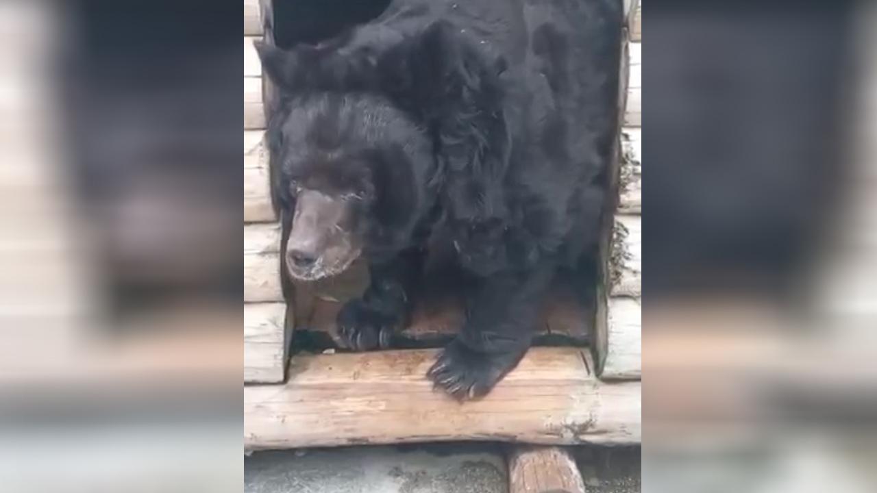 Отравленный медведь из челябинского зоопарка пошел на поправку