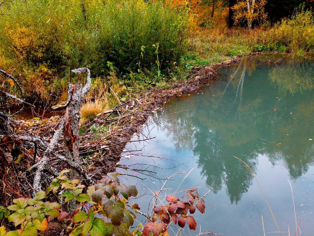 Бобры перекрыли реку в Челябинской области