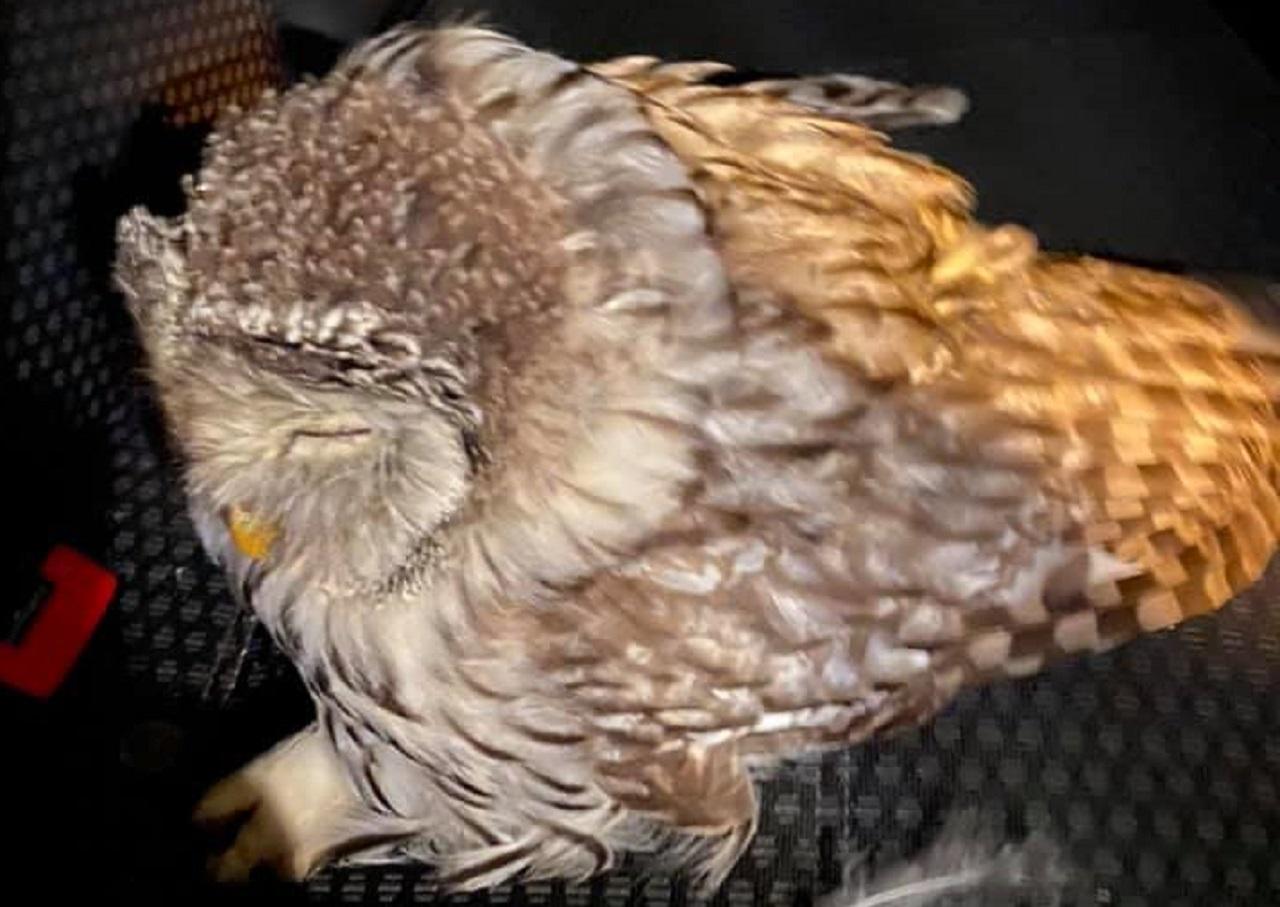 Стронгмен Эльбрус Нигматуллин спас сбитую на дороге сову