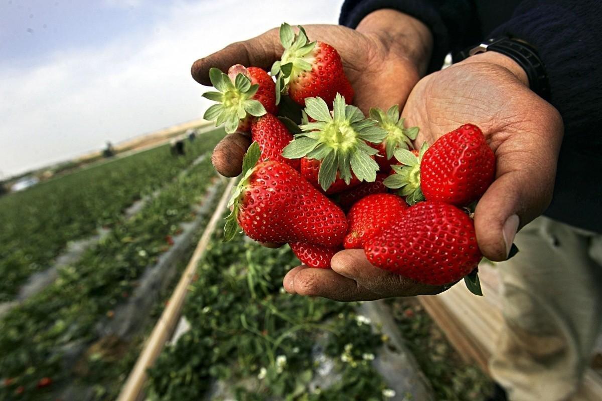 2 урожая за сезон: в Челябинской области появились ягодные плантации