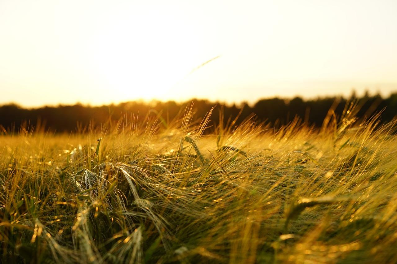 Монахини из Челябинской области вырастили богатый урожай зерна ВИДЕО