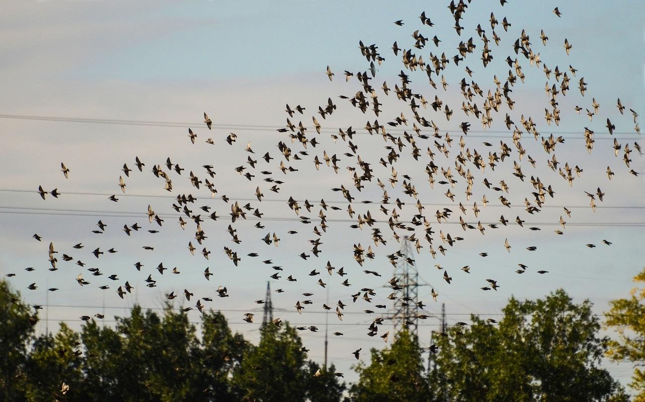 В Челябинской области сфотографировали последний осенний полет скворцов