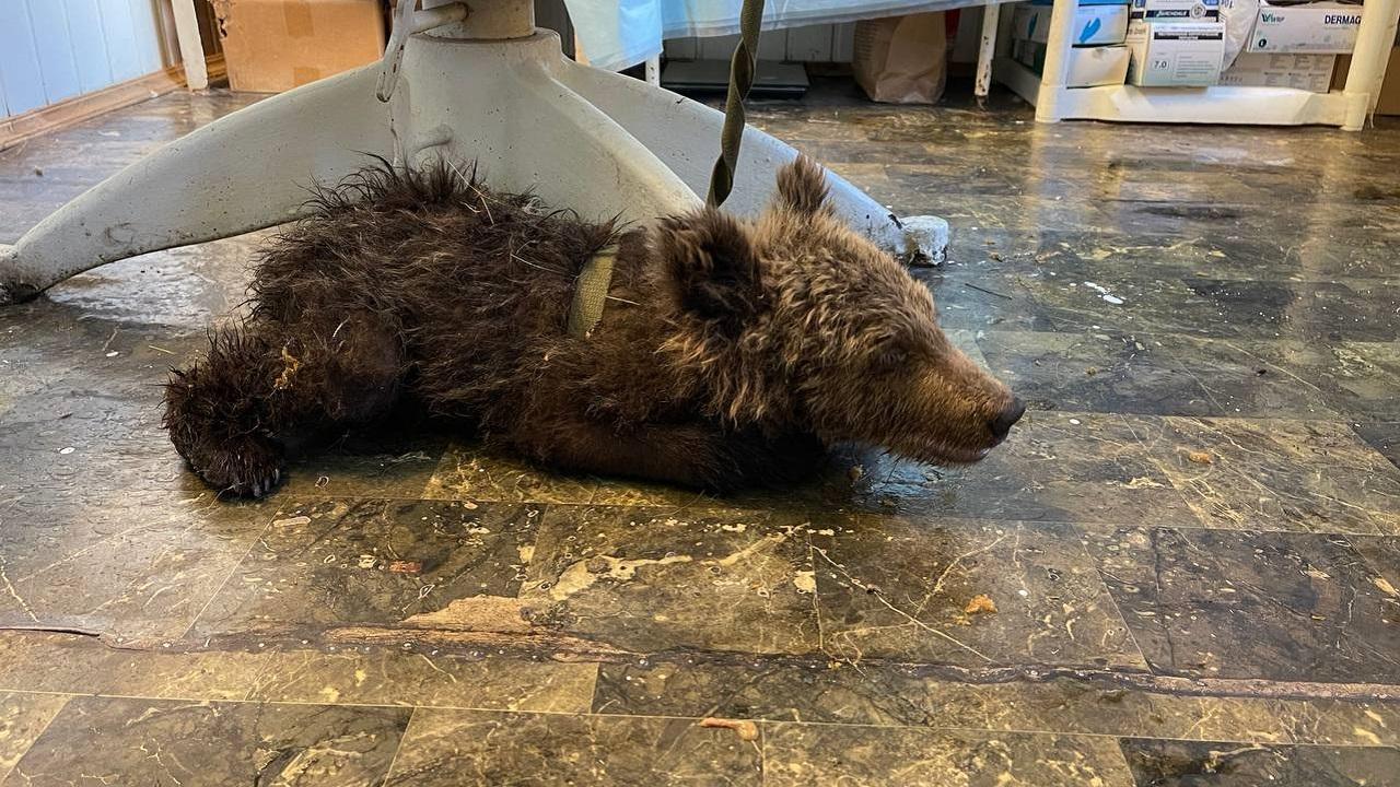 В Челябинской области борются за жизнь осиротевшего медвежонка