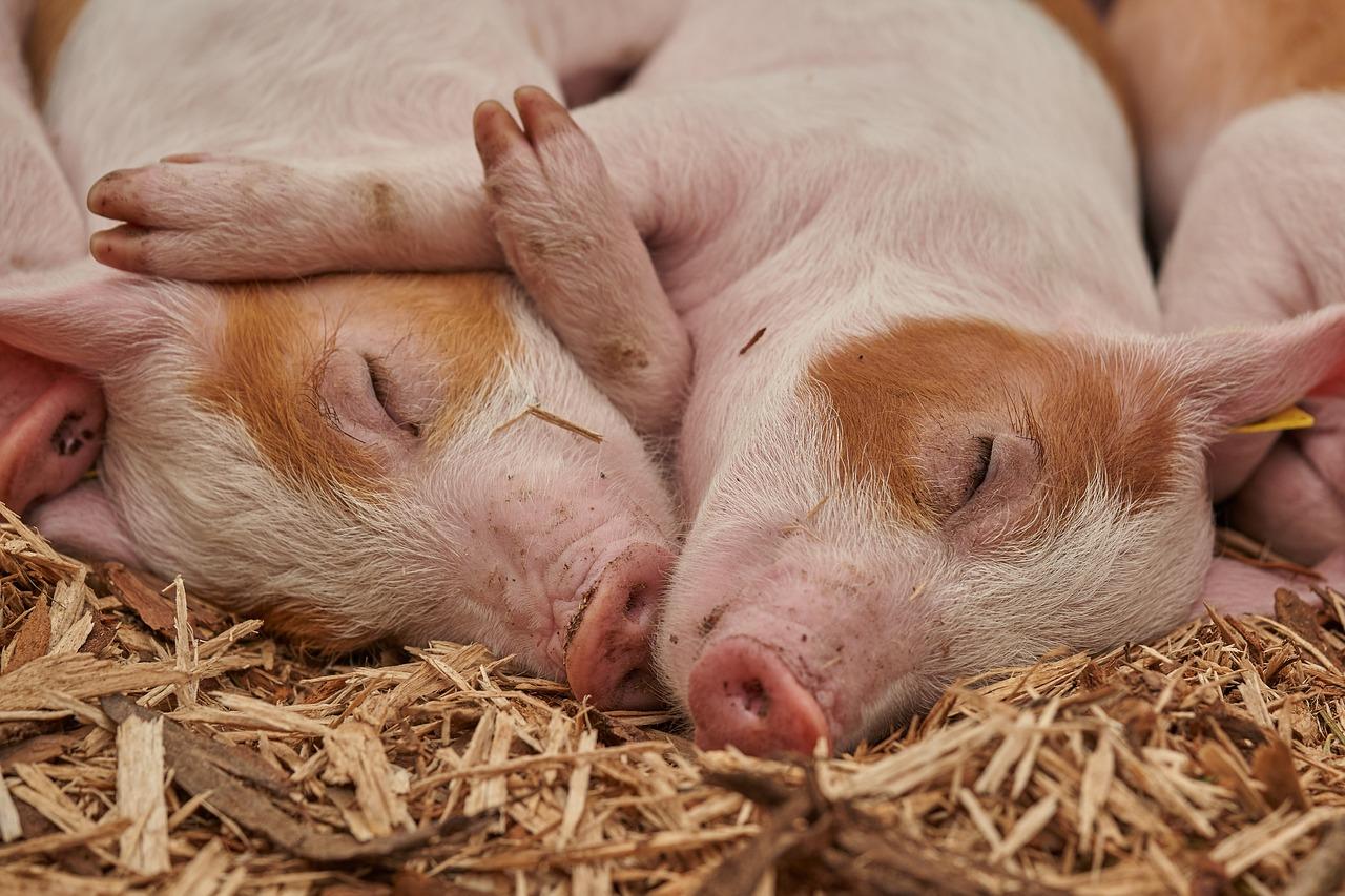 Очаг африканской чумы свиней нашли в Челябинской области